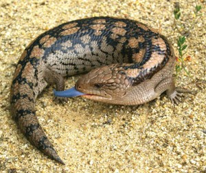 http://gatesofeden.com.au/reptiles/ - Blotched blue tongue lizard