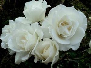 white-rose-1-1426157-m