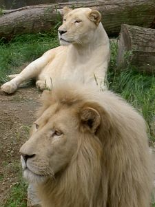 white-lion-1-364576-m