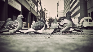 pigeons-city-1255488-m